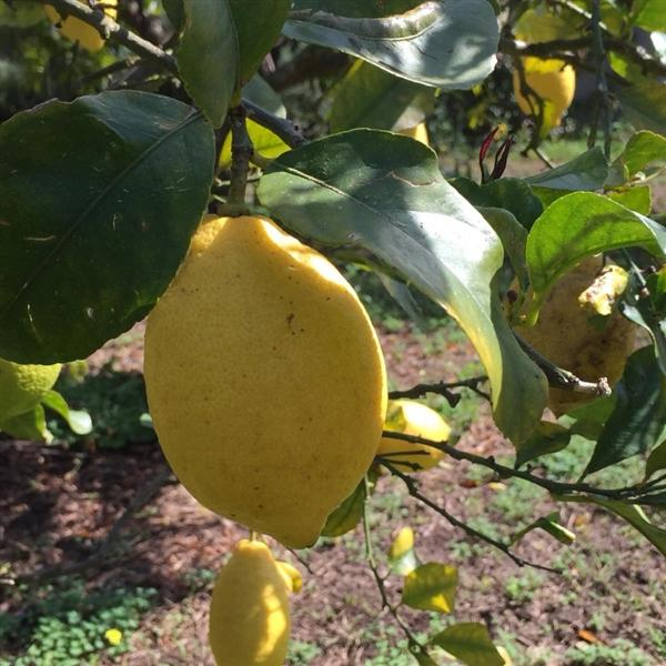 Limón de Calabria orgánica en caja de 1kg